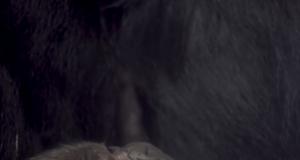 cucciolo gorilla video