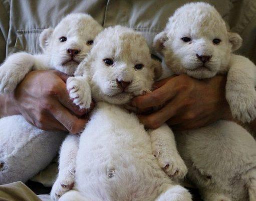 Leonessa allatta cuccioli