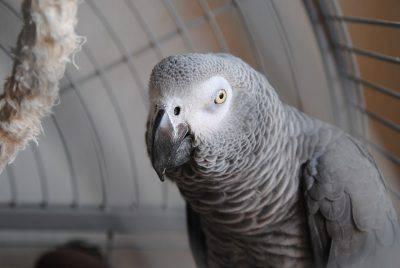 animali salvati pappagallo cenerino