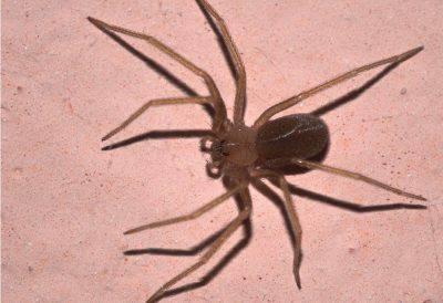 Pericolo ragno violino: cosa fare se si viene morsi e come riconoscerlo