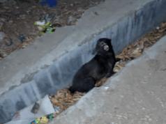 cane ferito