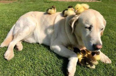 labrador adotta anatroccoli
