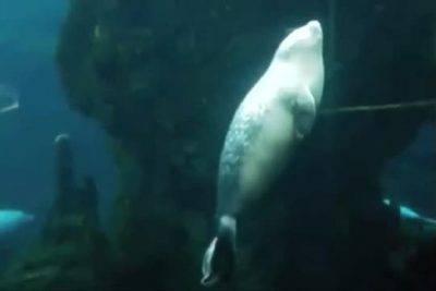 pesto cucciolo foca