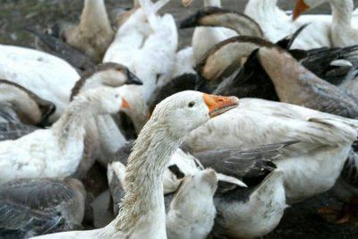 foie gras crai
