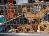 consumo carne di cane