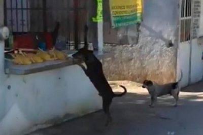 cane ruba pollo