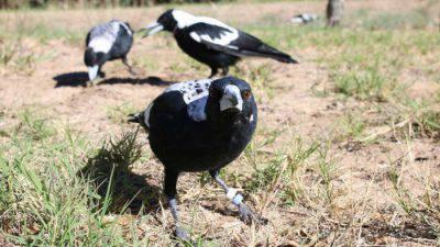 caccia gazze corvi