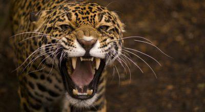leopardo uccide bambino