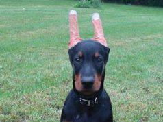 cani con orecchie tagliate