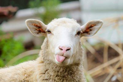 pecore a Roma