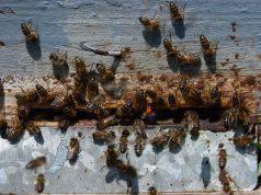 vittima sciame api