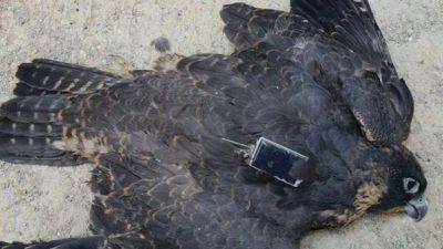 falco morto