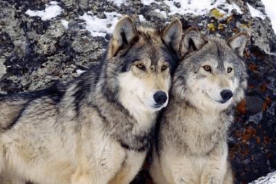 animali monogami