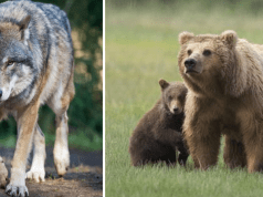 caccia lupi orsi