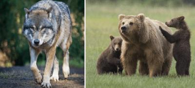 abbattimento lupi orsi