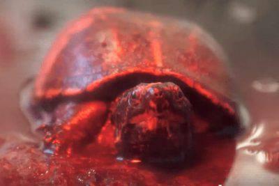 tartaruga ferita
