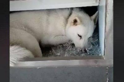 husky soffre caldo