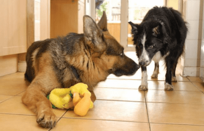 cane possessivo