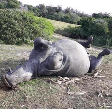 rinoceronti avorio