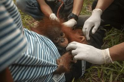 orangotango