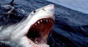 squalo rubato
