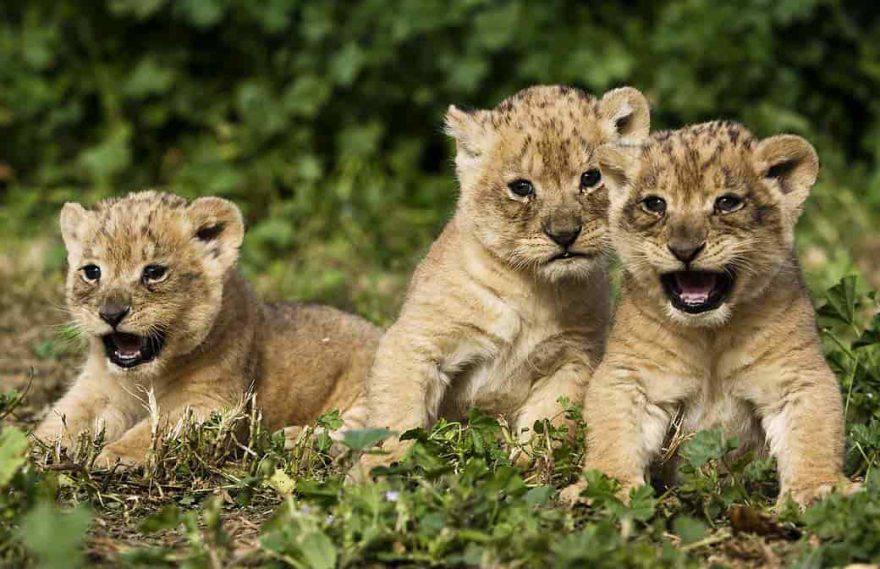 leoni concepiti in vitro