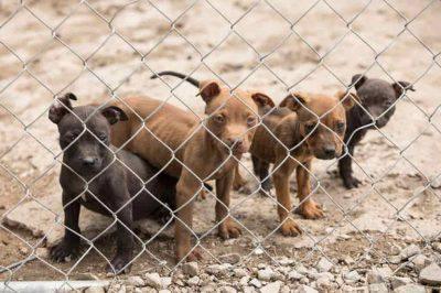 combattimenti clandestini cani