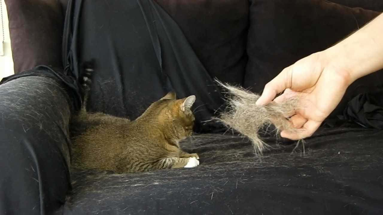cause gatto tira via peli