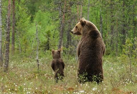 orso animale guida
