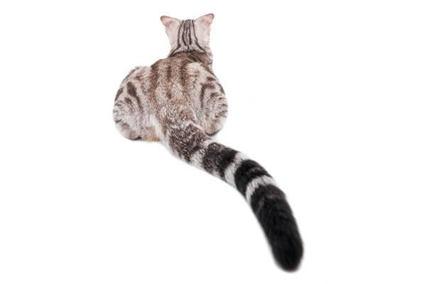 il gatto parla con la coda