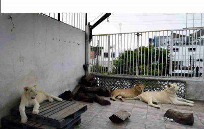 leoni domestici