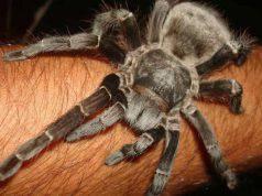 ragni velenosi