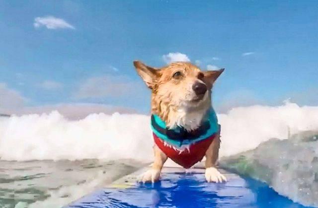 Corgi riabilitazione mediante surf