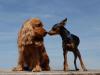 accoppiamento cani