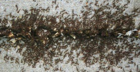 Invasione Di Formiche Allontanale Con La Cannella