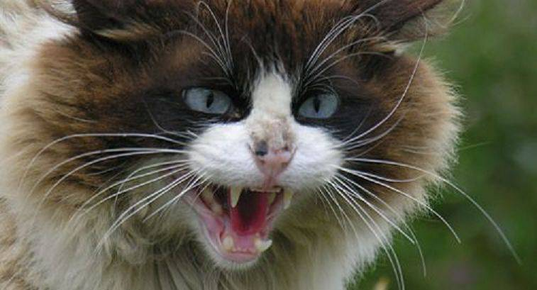gatto aggressivo rabbia
