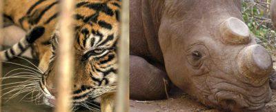 tigre rinoceronte medicina cina