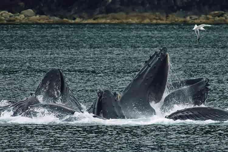 Giappone caccia balene