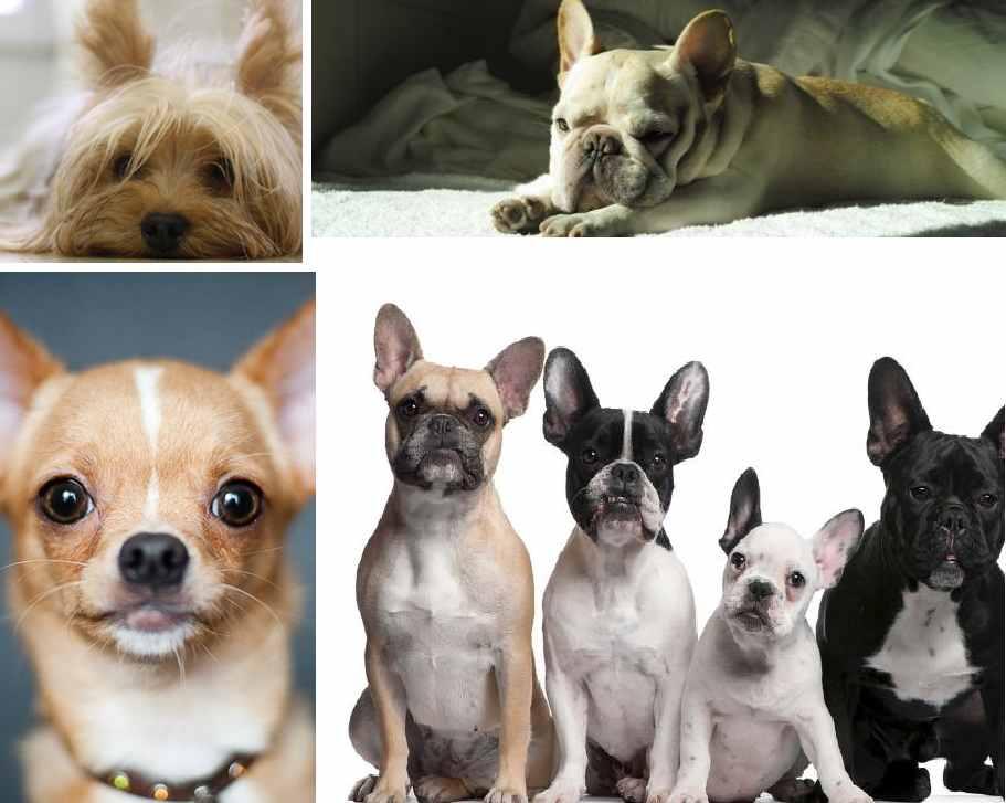razze cani popolari