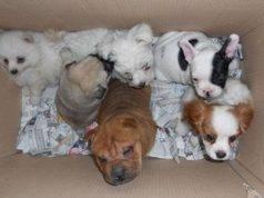 traffico cuccioli
