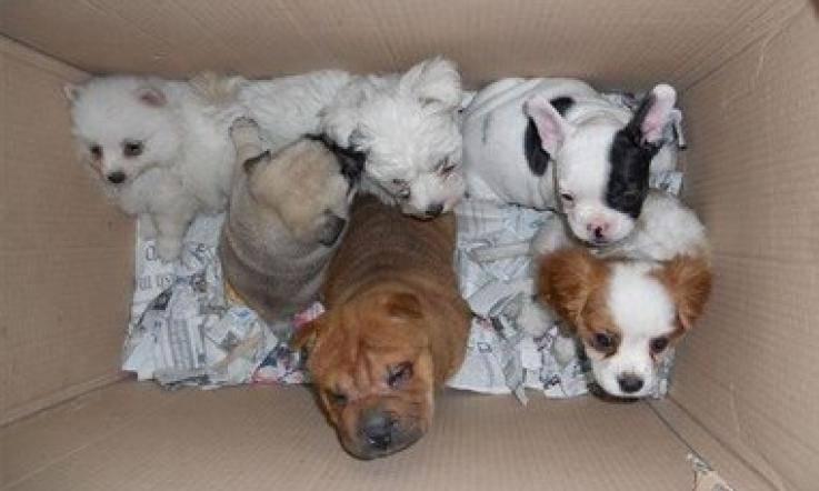 traffico cuccioli cane gatti