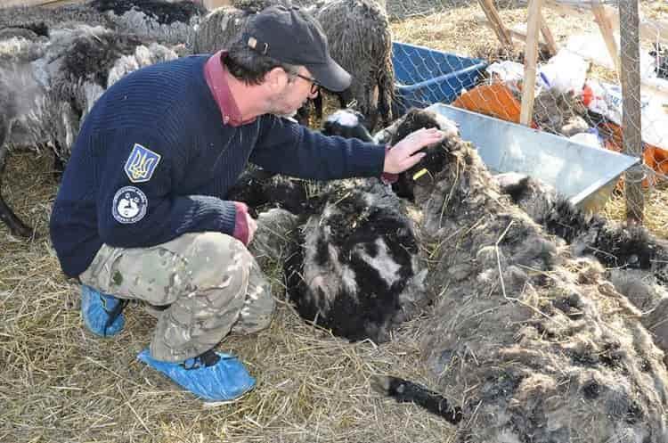 pecore ammassate