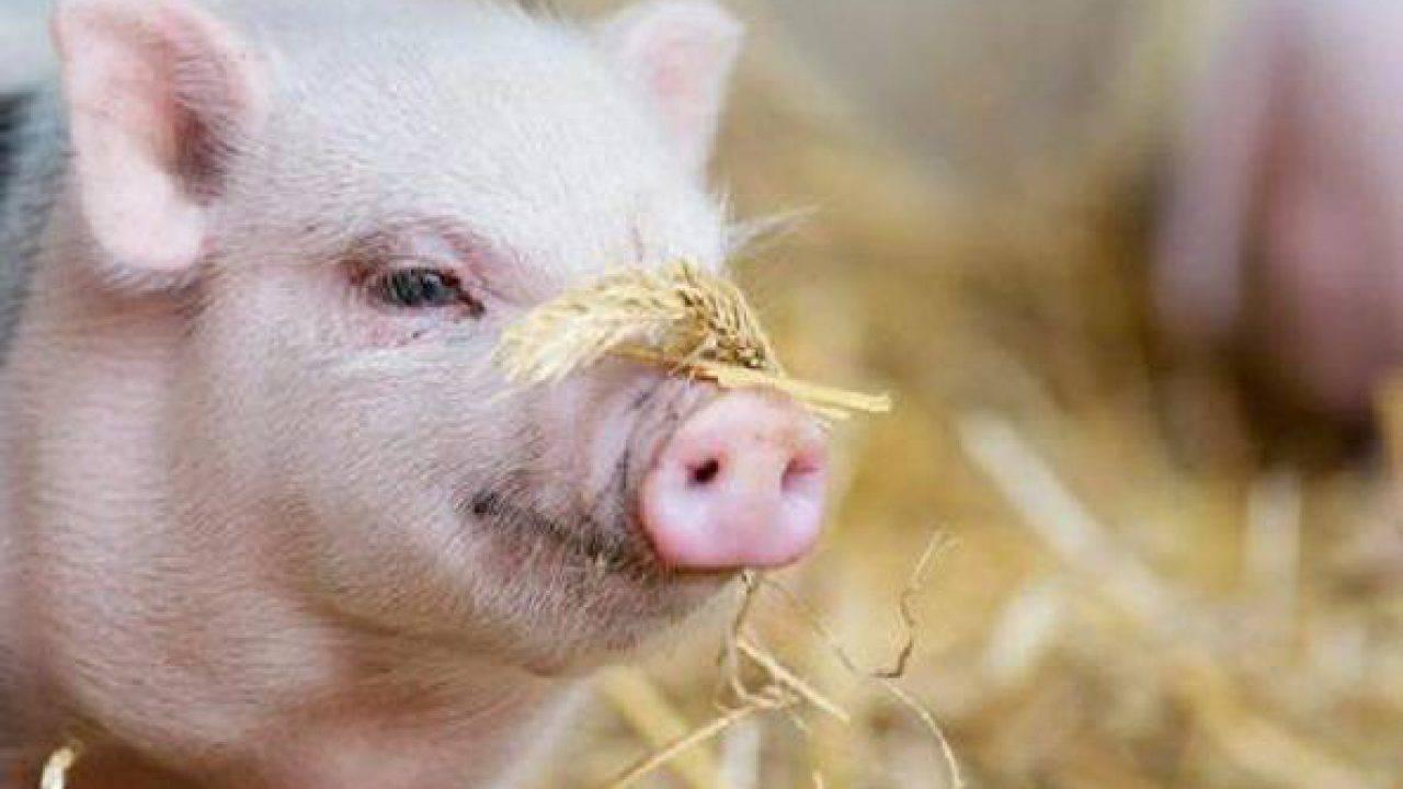 Oroscopo Cinese Maiale 2019 capodanno, il maiale della terra è l'animale cinese del 2019