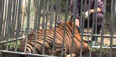 tigre recinto