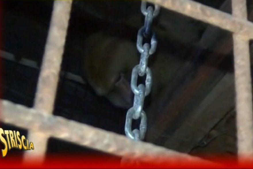 scimmia detenuta