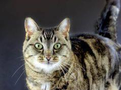 tigro gatto milionario