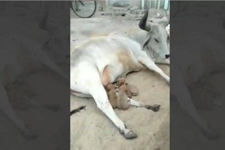 mucca adotta cuccioli
