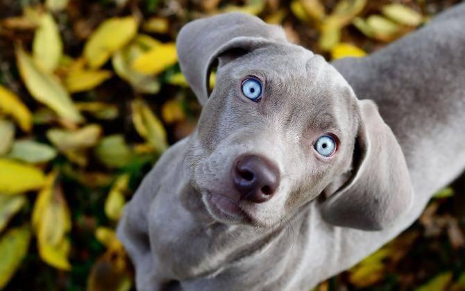 razze cani occhi blu