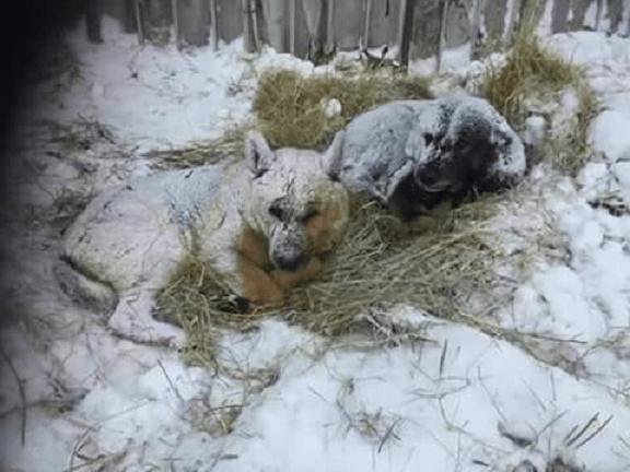 gelo soccorso animali