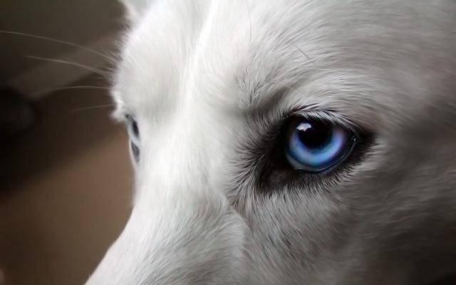 occhi blu cani